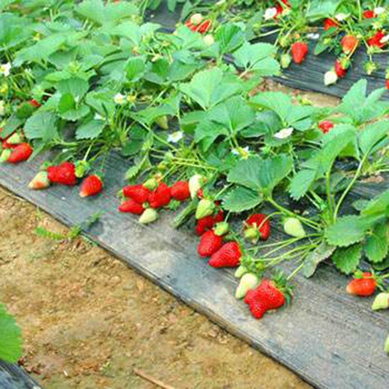 新都久久红草莓园